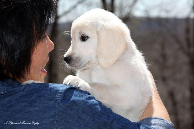 White Golden Retriever Puppies,AKC Certified, NJ