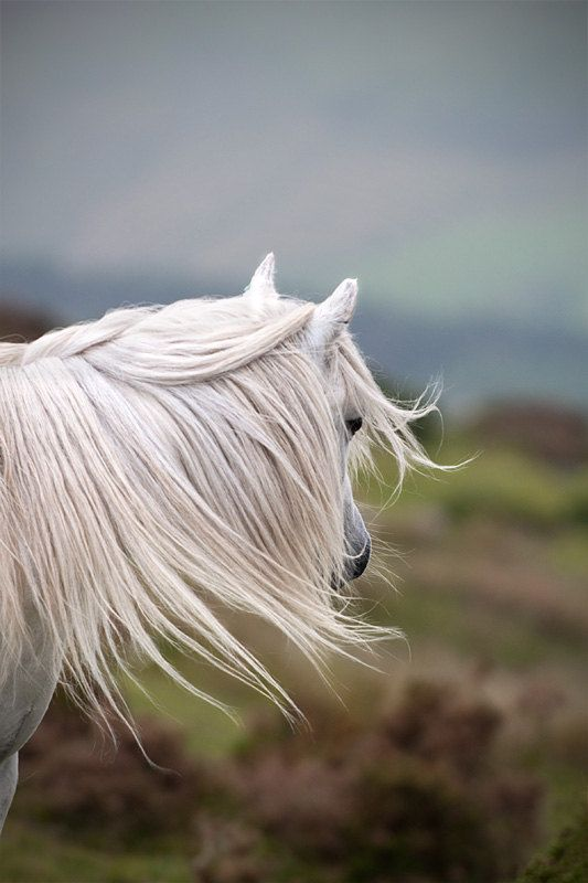Feral Welsh mountain ponies Snowdonia National Park, Wales, UK, reminds me of the horse in 'Morgan and Me'.