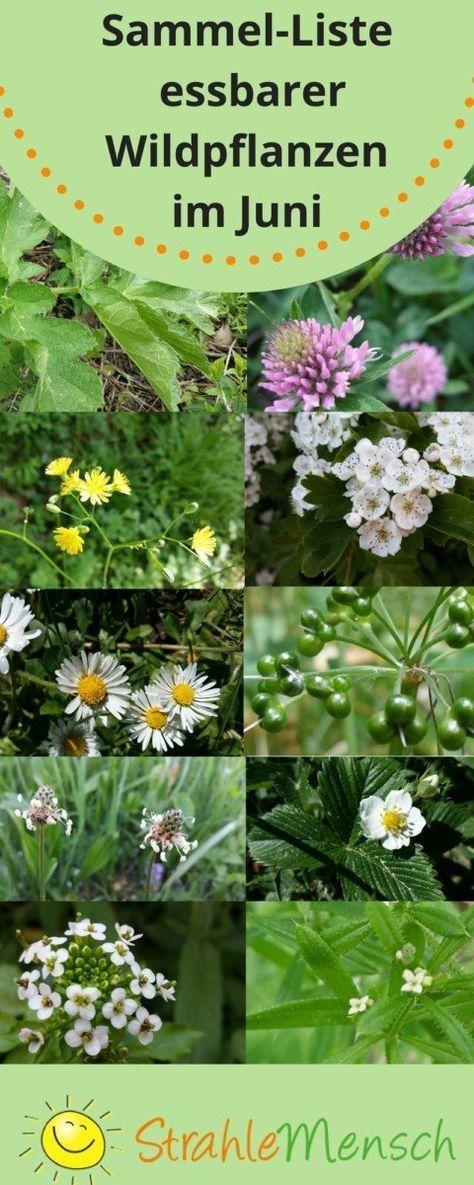 Sammel Liste Essbare Wildpflanzen Juni Pflanzen Garten