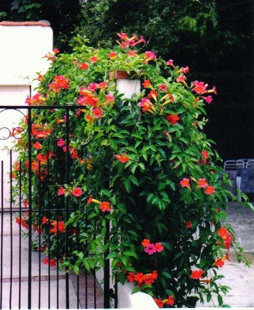 Red Trumpet Vine Campsis radicans 25 seeds vigorous by SmartSeeds