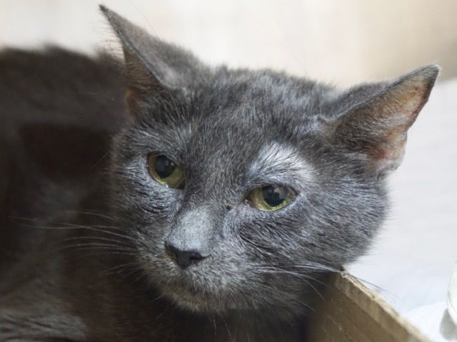 """WONDER - 19088 - - Manhattan  *** TO BE DESTROYED 02/01/18 ***  WE WONDER WHY WONDER WASN'T PULLED LAST NIGHT – ANOTHER CHANCE TONIGHT FOR THIS ADORABLE GIRL!!   WONDER is another one of the group of cats on tonight's list that lived in a 20 cat home with an older dog. She needs a competent vet check. She has been exposed to ringworm but doesn't currently have it….If you can give this """"wonder-ful"""" lady a home, please offer to foster"""