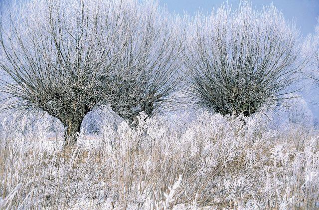 Zima w Polsce; Winter in Poland. Wierzby, okolice Warszawy, Mazowsze. Willow trees near Warsaw.