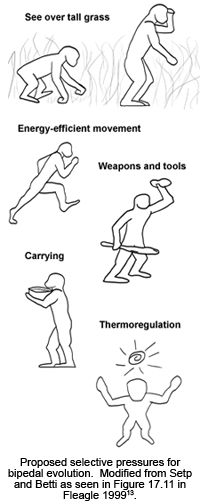 13 best Bipedalism Postural Feeding Theory images on