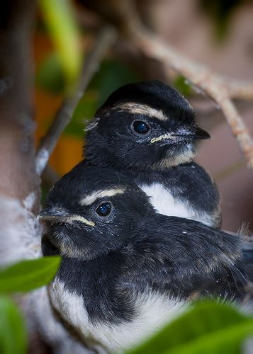 Willie Wagtail chocks. Indigo Skies Photography