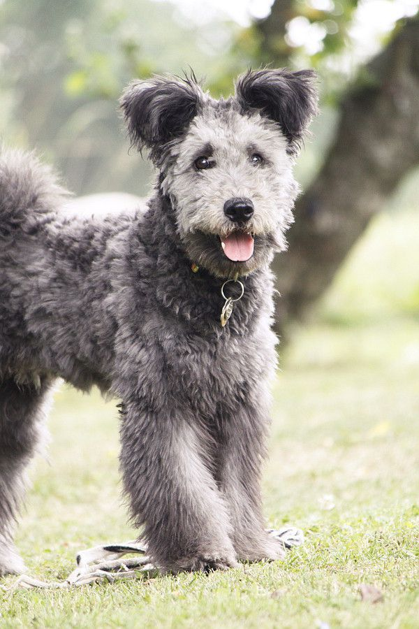 Hungarian breed.  Called a pumi. This is a purebred  - n c