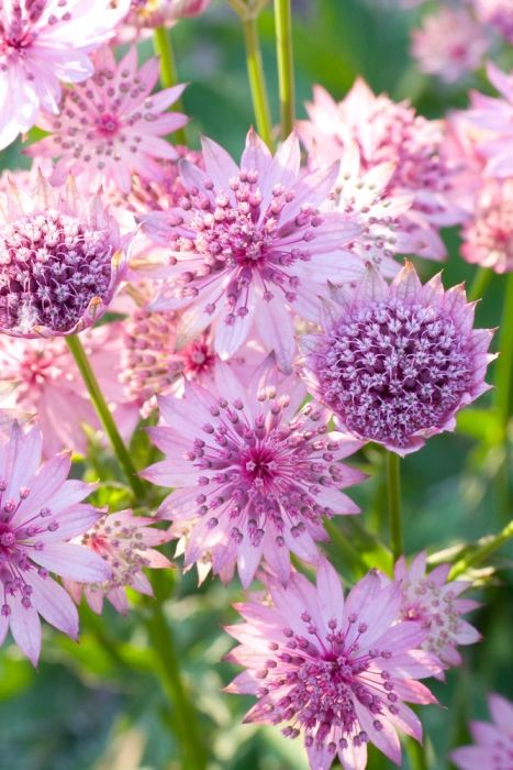 "Astrantia major rosea is a herbaceous perennial that flowers in midsummer but produces a later flush if deadheaded. After flowering plants can be rejuvenated by cutting them back close to the ground - fresh new foliage and a late crop of flowers start appearing shortly after. Plants do not spread far but are well-known for self seeding. Grows 18-24"" tall in sun to part shade. Zones 5-9"