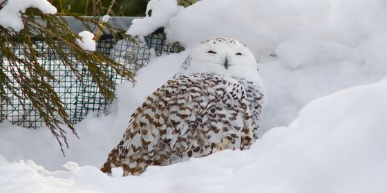 Snowy owl is back