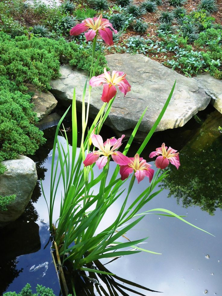 Pond Iris's look pretty either in the pond or along the edge of a pond.  Lots of different colours to choose from