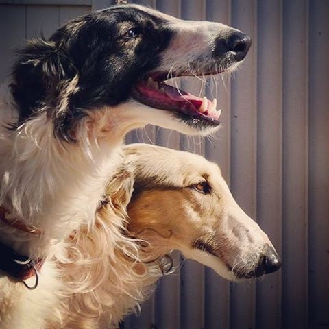 ❤ =^..^= ❤   ariannblack:  I think I am ready and need a new borzoi in my life.