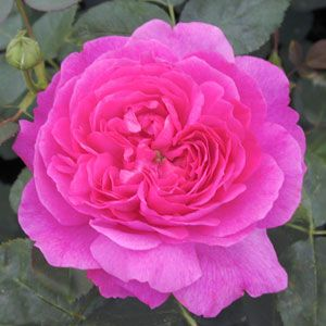 Rose 'Noble Anthony'