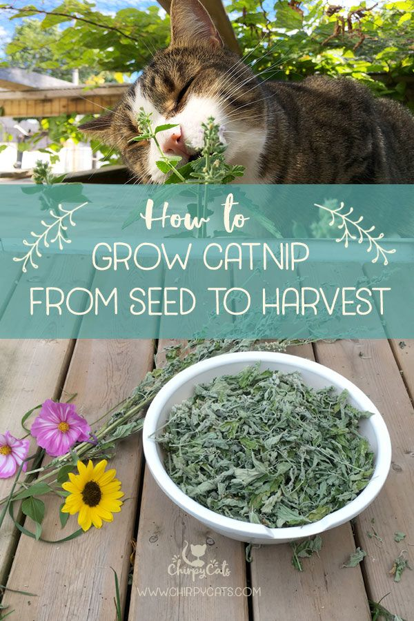 How To Grow Catnip And Impress Your Kitties In 2020 Growing Catnip Catnip Catnip Plant