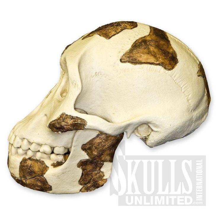 Lucy Skull with Stand (Australopithecus afarensis) | WS-BH-021A