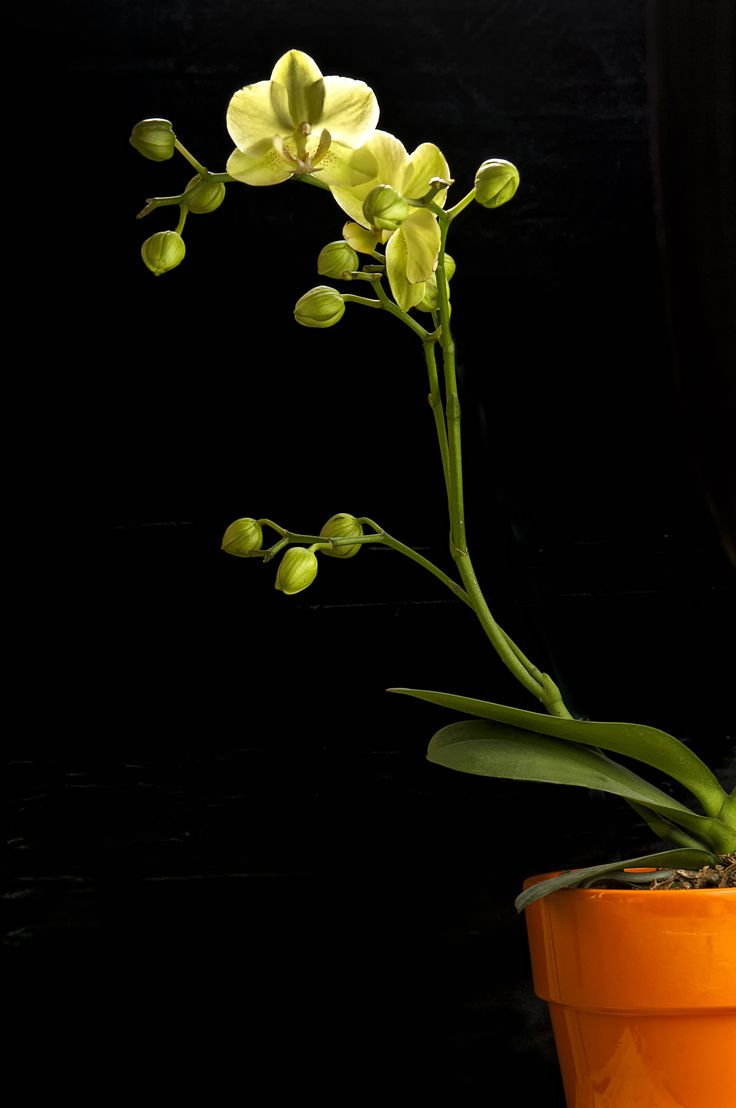 Robert Mapplethorpe Flowers