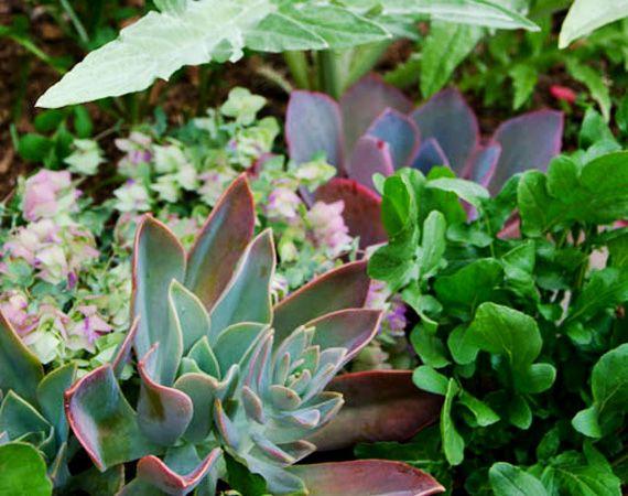 Mixed edible and ornamental planting bed in the edible garden. Oregano, arugula, succulents. Star Apple Edible Gardens Modern Potager (ornamental vegetable/kitchen garden)