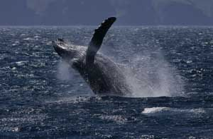 BREAKING NEWS:   Japan has officially cancelled all plans to hunt whales in the Southern Ocean in 2014. (Whales jump for joy!)