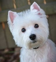 Westie  CAN I COME HOME WITH YOU?  i PROMISE TO KEEP MY FACE CLEAN.