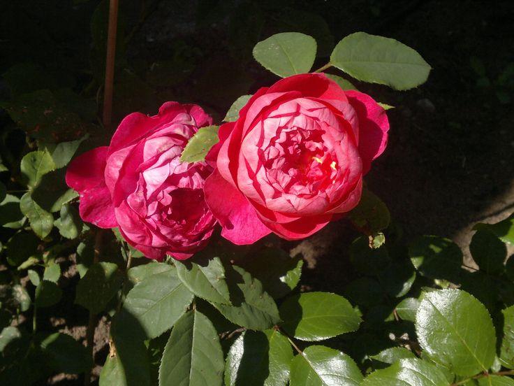 Róże z mojego ogrodu