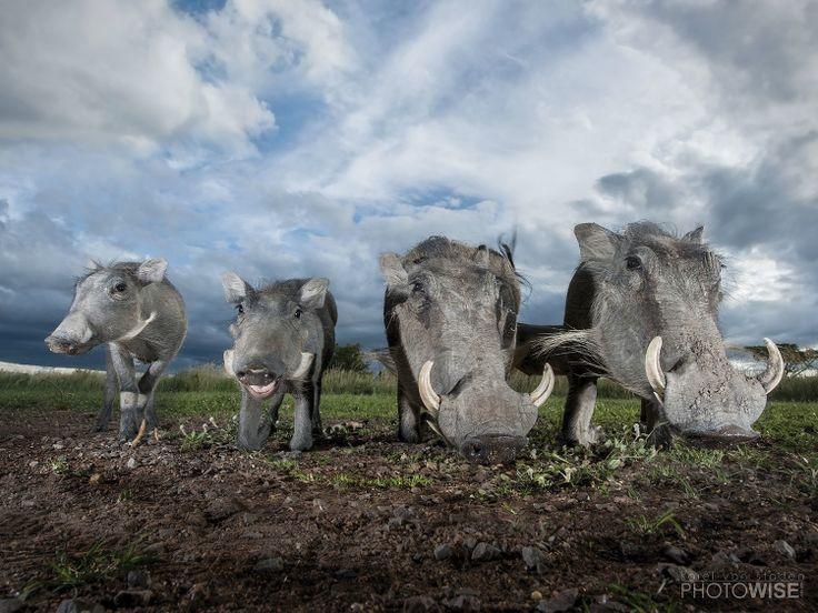 Warthogs shoot at Zebula, using 2 speed lights
