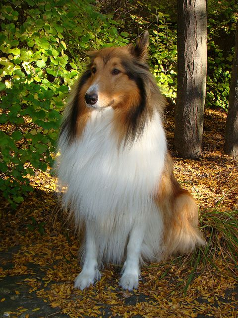 Buddy Our Rough Collie   Flickr -