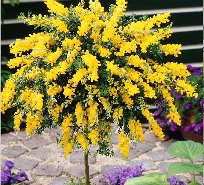 Kup Teraz Na Allegro Pl Za 2 99 Zl Zarnowiec Miotlasty Przepiekny Ozdobny Krzew Cud 7836346623 Allegro Small Trees For Garden Plants Architectural Plants