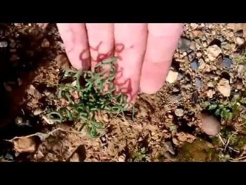 Trachyandra tortilis in nature - YouTube