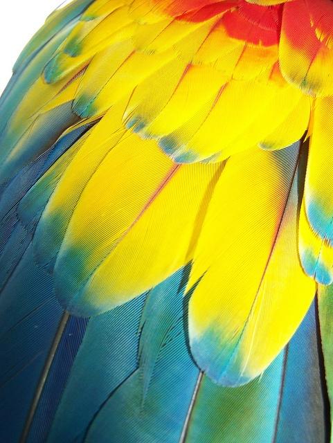 Papagayo Feathers  Que preciosidad, la naturaleza tiene unos colores increibles