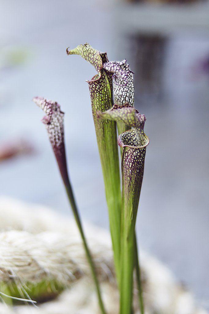 NÓS Sarracenia.  carnivorous plants botanical installation x FLO atelier botânico