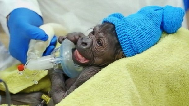 Baby Gorillas Are Just Like Us, Kind Of  abc news
