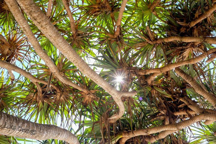pandanus tree photo Luke Casey Photography