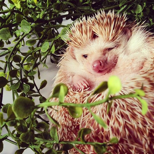 Best Cute Hedgehogs Images On Pinterest Animal Kingdom - Darcy cutest hedgehog ever