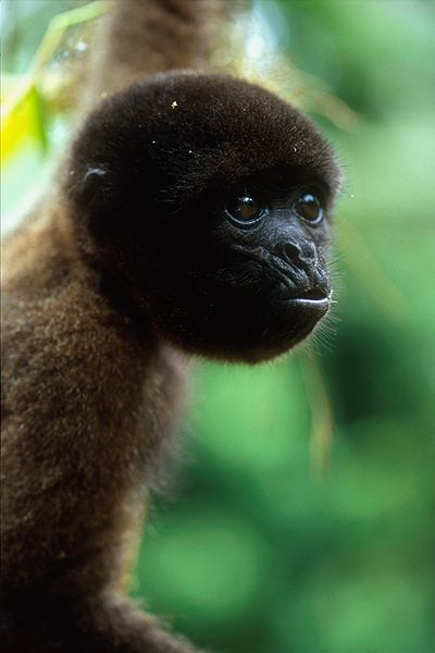 Common wooly monkey. Photo by Michael turco