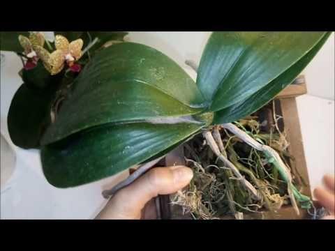 Folhas Murchas das Orquídeas, o que FAZER?Parte I - YouTube