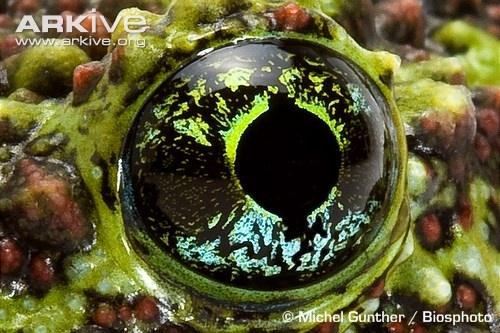 Tonkin bug eyed frog