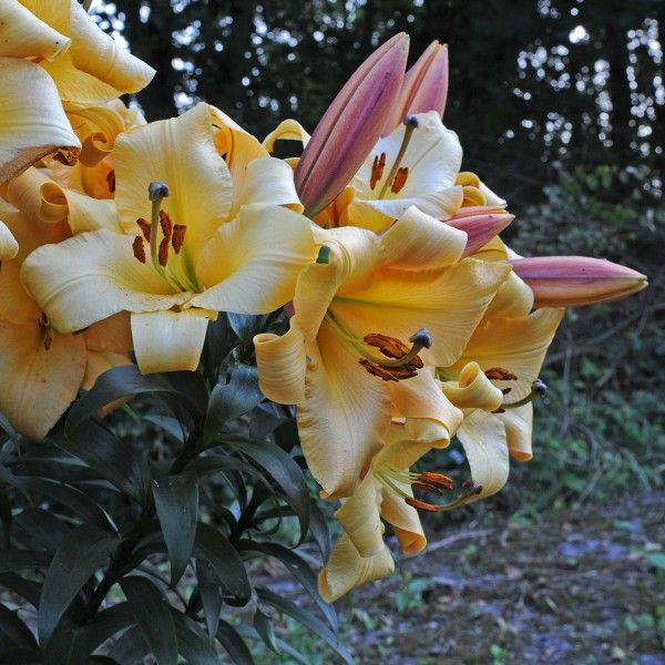Lilium Saltarello  - eine tolle starke Lilie mit einer wunderschönen Farbe. Erinnert irgendwie an sonnige Urlaube und tropische Früchte. Lilienzwiebeln werden am besten im Winter an frostfreien Tagen gepflanzt. Online erhältlich bei www.fluwel.de