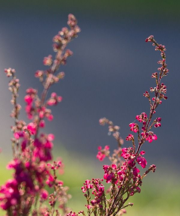Icelandic Flower