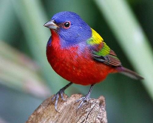 The painted bunting (Passerina ciris) not only has a brilliant red chin, chest and abdomen, but the rest of its plumage is similarly bold in shades of green, yellow and blue. As with most brightly colored species, however, females are much plainer and lack the bright colors of the male.