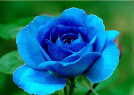 fotos de flores azuis                                                                                                                                                                                 Mais