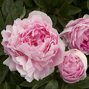How to grow peonies (even where it's warm).. so, does that mean that they're a cool weather plant?  Must learn how to keep them healthy and prolific.
