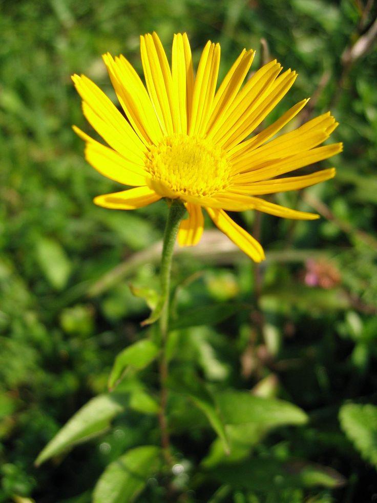 Buphthalmum salicifolium (oxeye): have patience