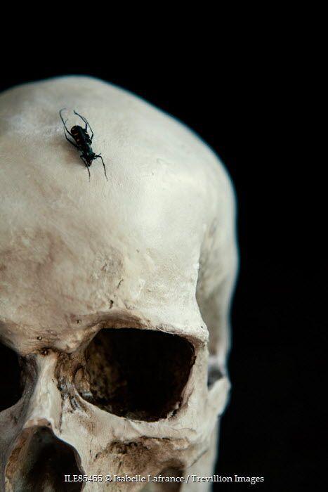 Beetle on skull Isabelle Lafrance / Trevillion Images
