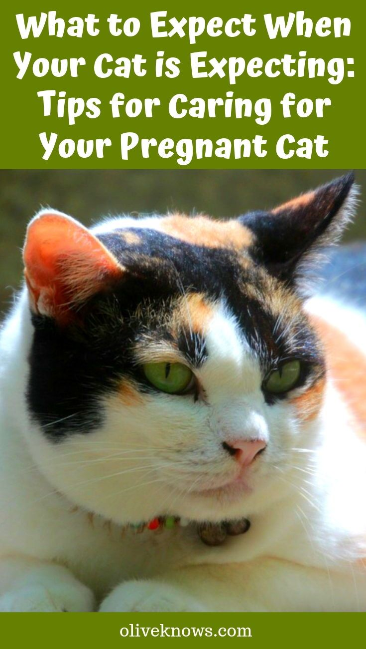 What To Expect When Your Cat Is Expecting Tips For Caring For Your Pregnant Cat Oliveknows Pregnant Cat Cat Having Kittens Cats