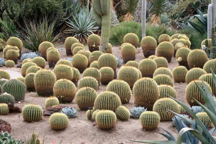 bolas peludas: Garden Ideas, Desert Gardening, Cacti, Desert Gardens, Gardening Ideas, Backyard, Randy Son, Deserts, Cactus