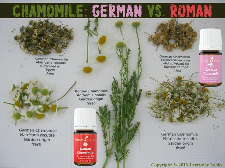 German Chamomile Matricaria Recutita German Chamomile