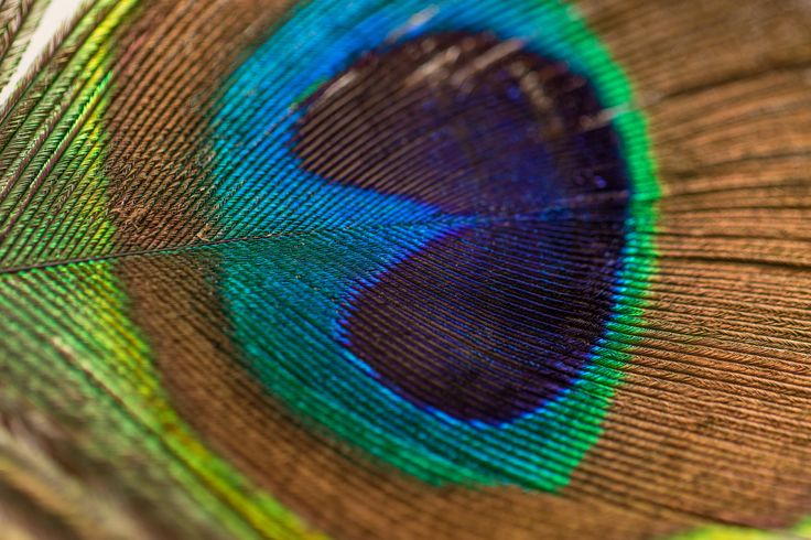 Feather, peacock, detail and macro HD photo by Amber Flowers (@soulgazephotography) on Unsplash