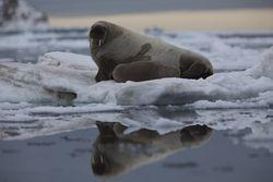 Lokalviden om havpattedyr og fugle fra Qaanaaq området dokumenteret i en ny rapport  Pinngortitaleriffik - Grønlands Naturinstitut