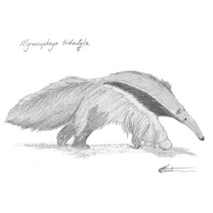 #Giant #anteater #art #illustration #drawing #animals #sketch #wildlife Take him home today! bit.ly/2aML6uO