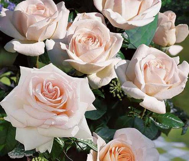 66 best garden images on pinterest roses garten and container. Black Bedroom Furniture Sets. Home Design Ideas