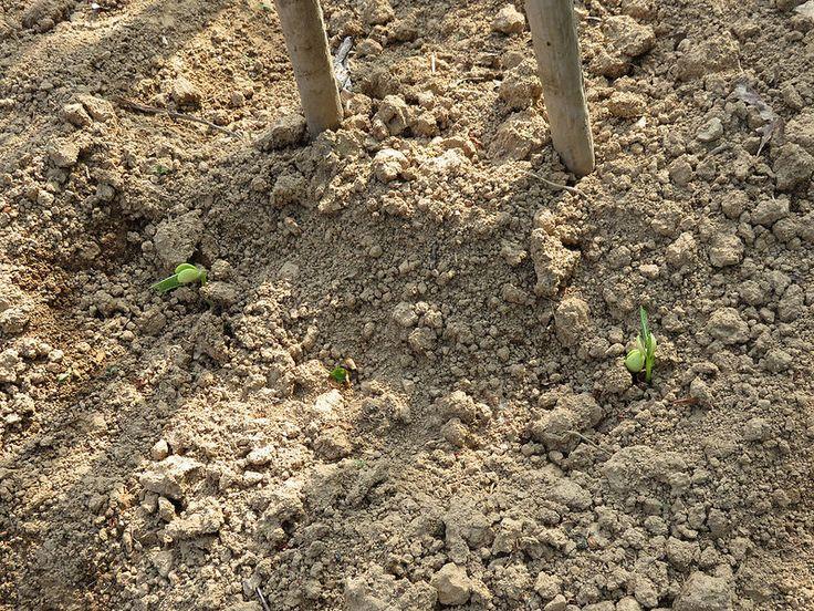 Ortolano a 30 anni: Per ogni fagiolo un ritmo di crescita