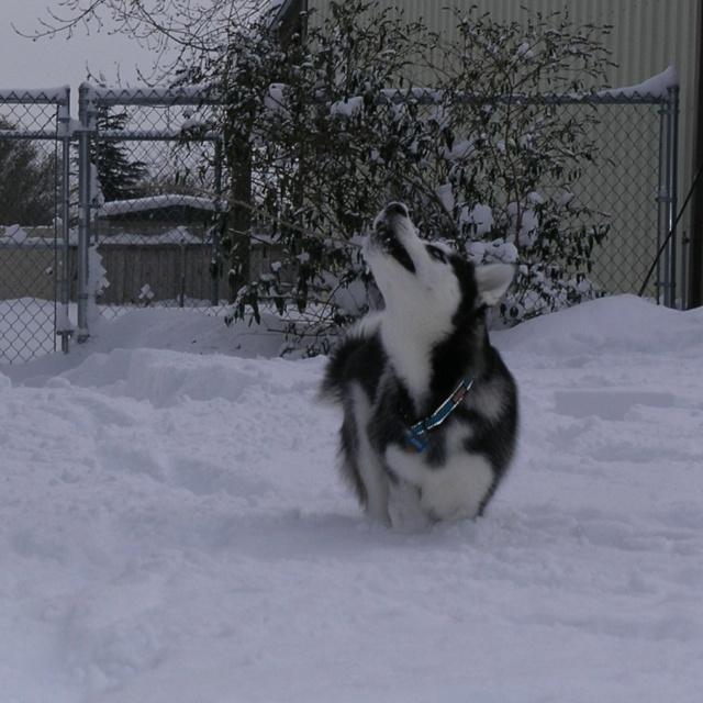 Koda biting the snow, lol...