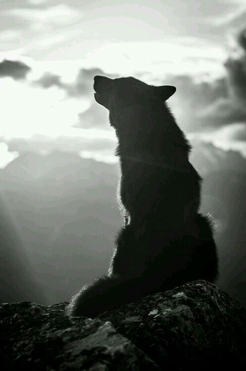 Lobo #lobo blanco y negro #animales animales Wolf #wolf